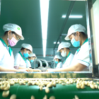 The biggest advantage of the Vietnamese Cashew Industry